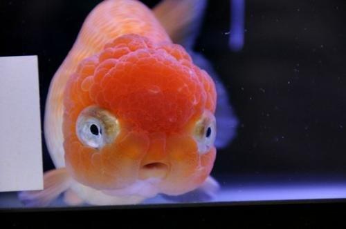 黑寿星鱼的饲养要点介绍